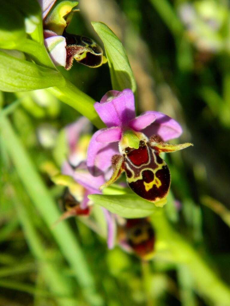 kibris ari orkide